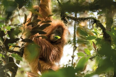 Discovering a New Species of Orangutan in Indonesia